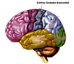cortexsomatosensorial Enxaqueca e Alterações Cerebrais