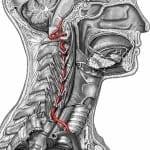 Artéria vertebral e seu trajeto