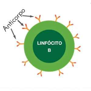 Linfócito B